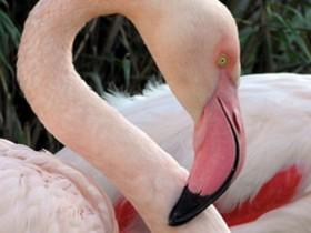 Flamingó